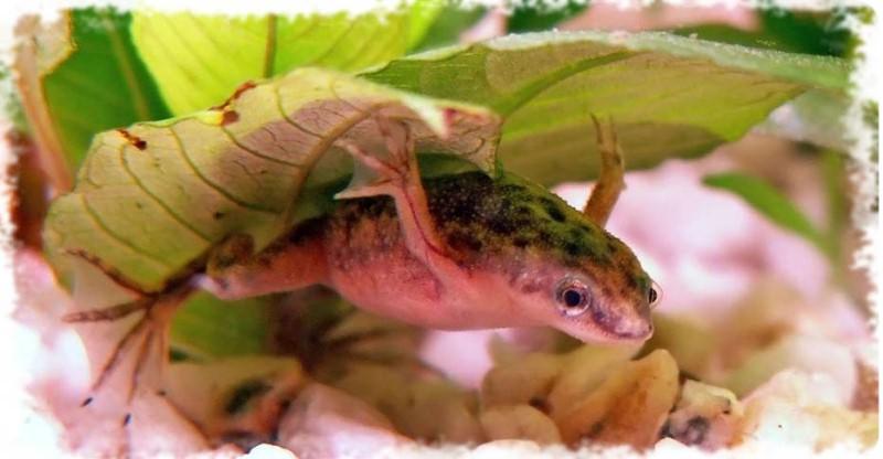 Лягушка Гименохирус