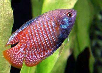 Лабиринтовые рыбки3