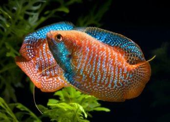 Лабиринтовые рыбки2