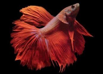 Лабиринтовые рыбки1