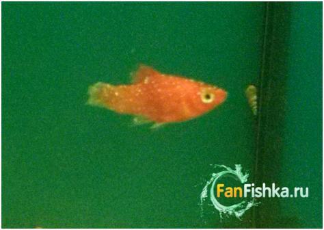 рыбка зараженная манкой
