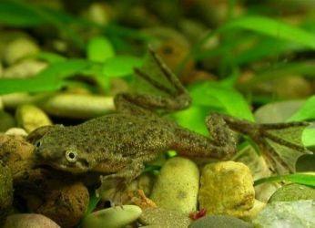 виды аквариумных лягушек (Гименохирус)