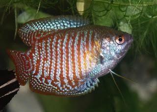 аквариумные рыбки лялиус содержание