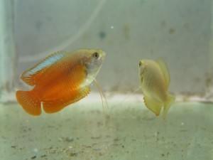 лялиусы рыбки