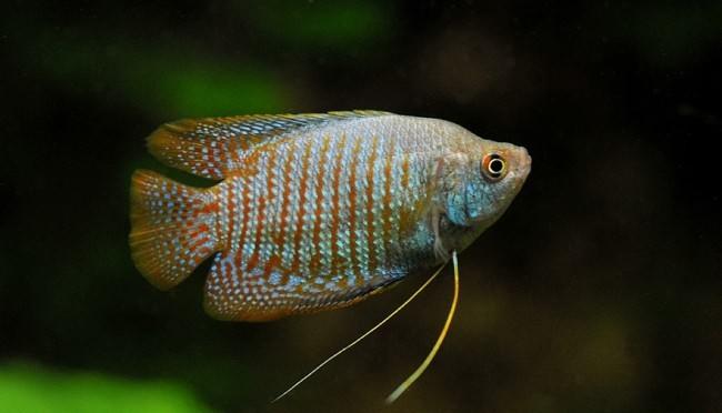 Популярные аквариумные рыбки с необычным окрасом.