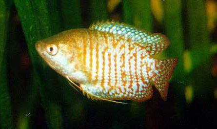 лялиус совместимость с другими рыбками