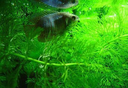 рыбка лялиус содержание