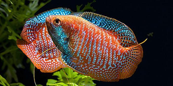 лялиус аквариумная рыбка фото