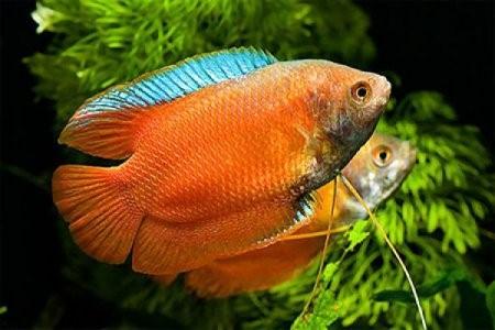 Лялиус: содержание рыбки, совместимость, разведение, фото-видео обзор
