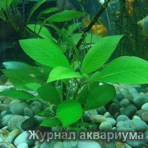 Лимонник или Номафила прямая (Nomaphila stricta или Nomaphila corymbosa) Семейство Акантовые (Acanthaceae).