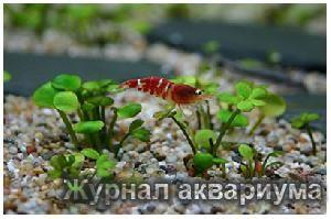 Марсилея хирсута (Marsilea hirsuta) Семейство Марсилеевые