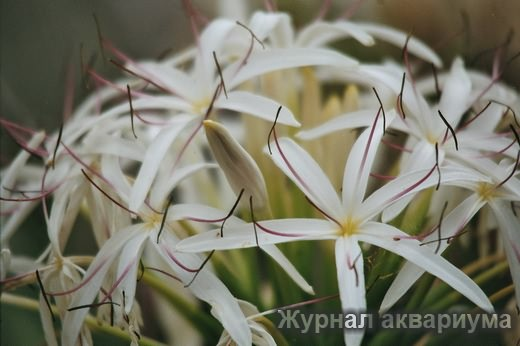 Кринум тайландский или тайский (Krinum thaianum)Семейство амарилисовые (Amaryllidaceae).