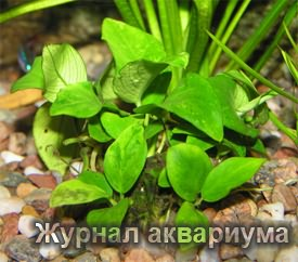 Анубиас нана (Anubias nana или Anubias barteri var. nana)Семейство Аронниковые или Араидные (Araceae).