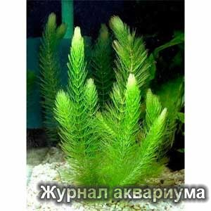 Роголистник (Ceratophýllum)Семейство Роголистниковые (Ceratophyllaceae).