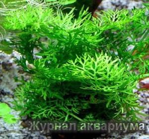 Индийский водяной папоротник (Ceratopteris thalictroides)Семейство Роговидные (Ceratopteridaceae).
