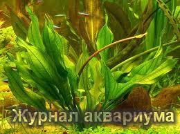 Эхинодорус Блехера или Тысячелистник (Echinodorus bleheri или paniculatus)