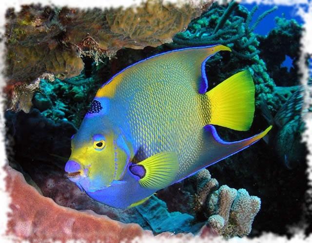красивая рыбка ангел