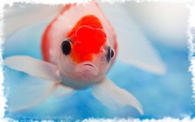 красивая аквариумная рыбка
