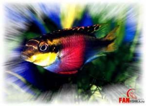 пельматохромис рыбка попугайчик