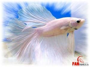 бетта рыбка петушок