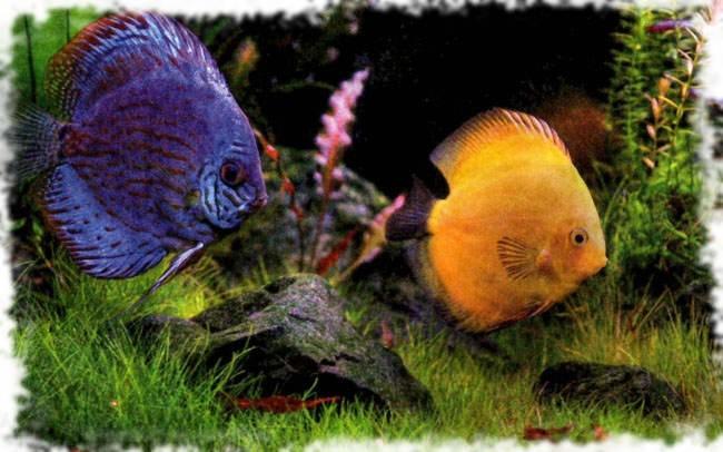 красивая аквариумная рыбка дискус