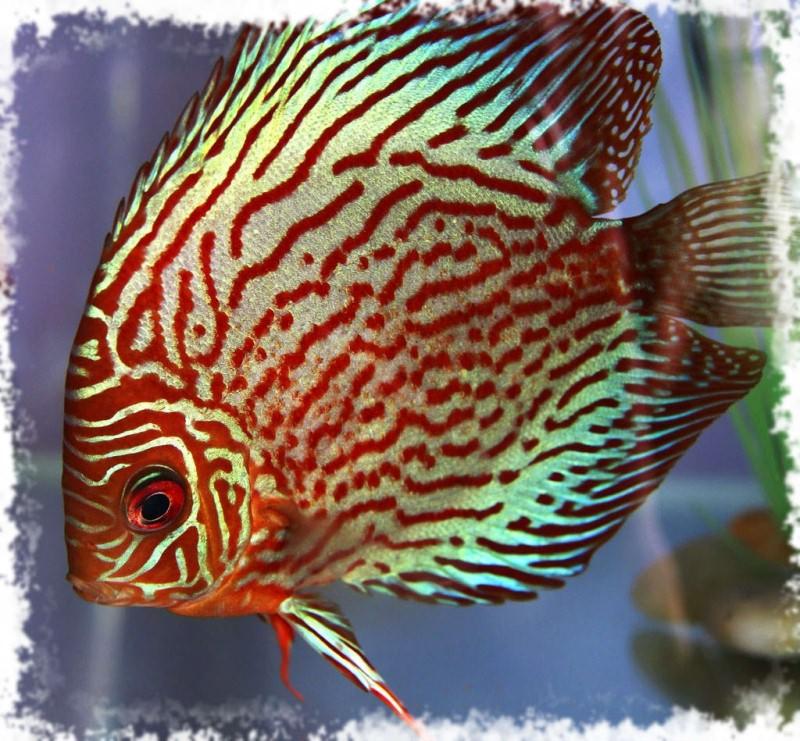 красивая рыбка цихлида