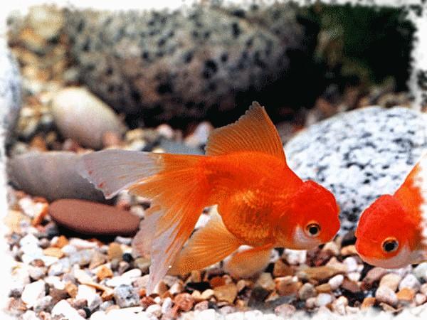 красивая золотая рыбка