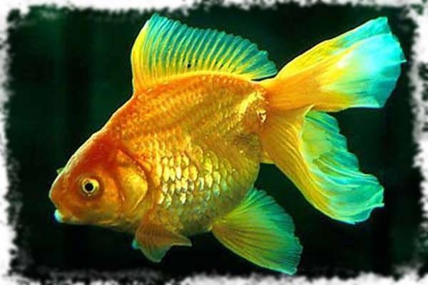 красивые золотые рыбки