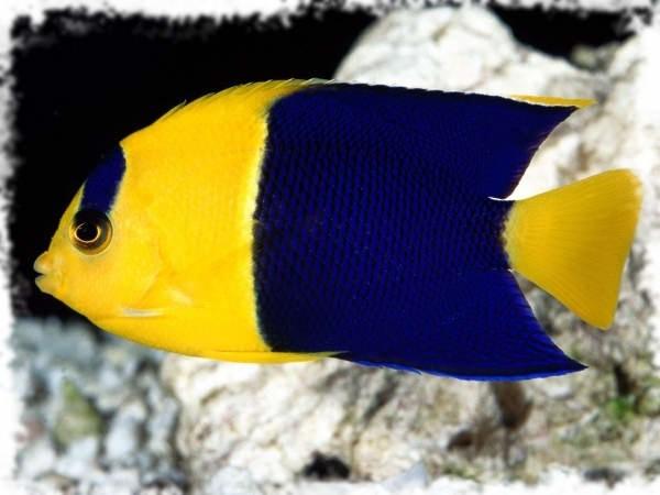 скалярия красивая рыбка