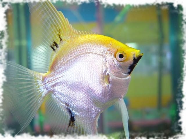 очень красивая рыбка
