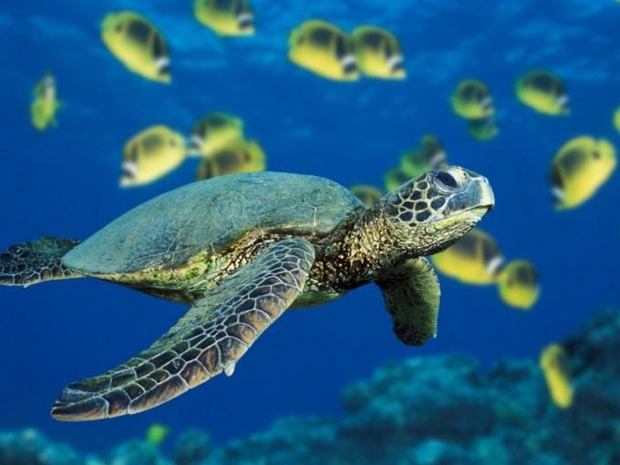 как кормить морскую черепаху