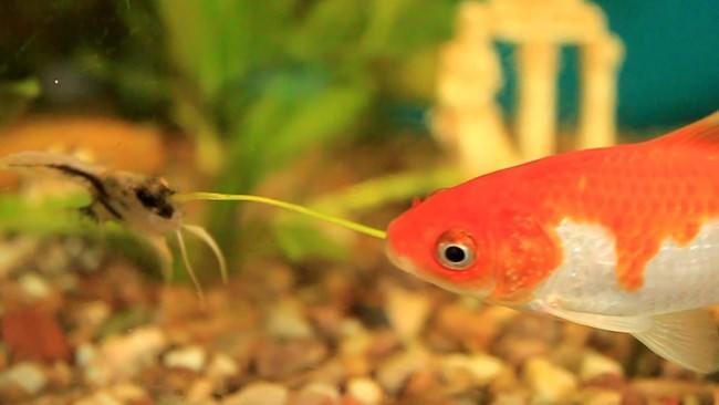 Скалярия и золотая рыбка.