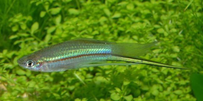 Пресноводная рыбка семейства Пецилиевые.