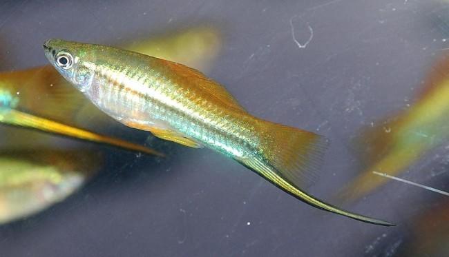 Xiphophorus helleri.