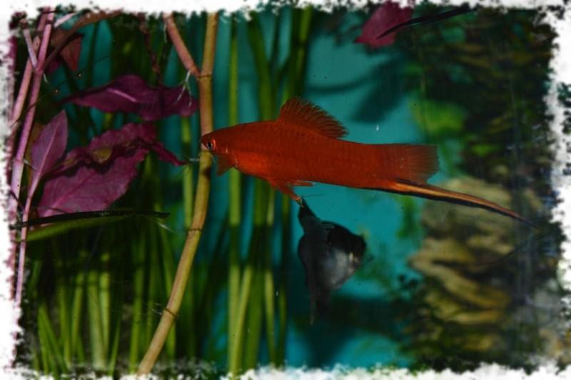 меченосец рыбка