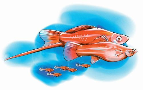 рыбки меченосцы размножение