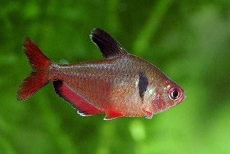 Минор аквариумная рыбка: содержание, совместимость, фото-видео обзор