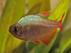 Рыбка минор содержание и уход