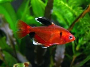 минор фото рыбки