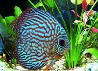Мирные аквариумные рыбки4