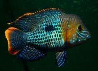 Мирные аквариумные рыбки5