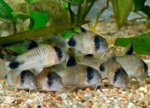 Мирные аквариумные рыбки7