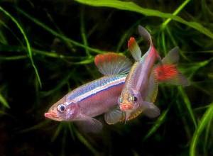 Мирные аквариумные рыбки8