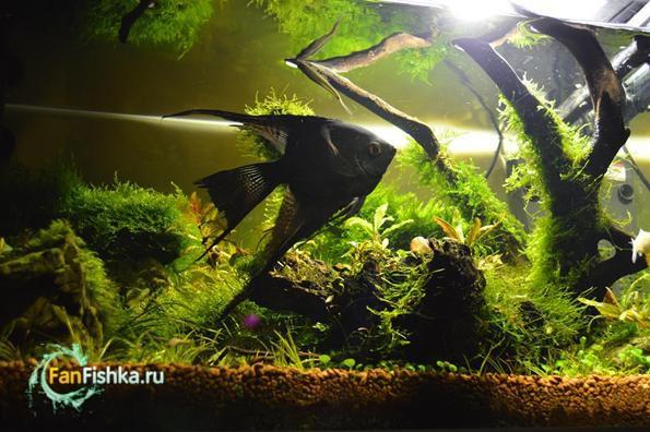 мхи в аквариуме