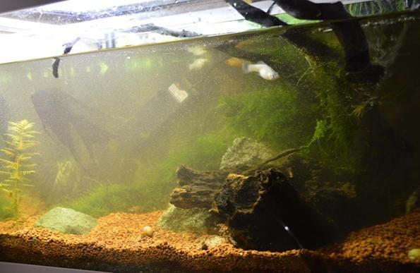 муть при запуске аквариума с мхами