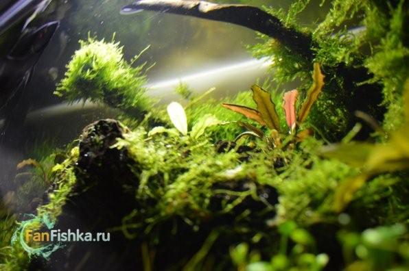 Аквариумные мхи или все о мшарнике: оформление, виды, фото-видео обзор
