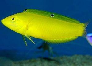 Морские рыбки для аквариума10