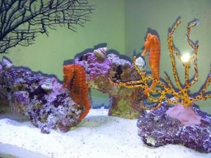 аквариумный конек
