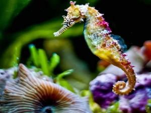 аквариумные коньки