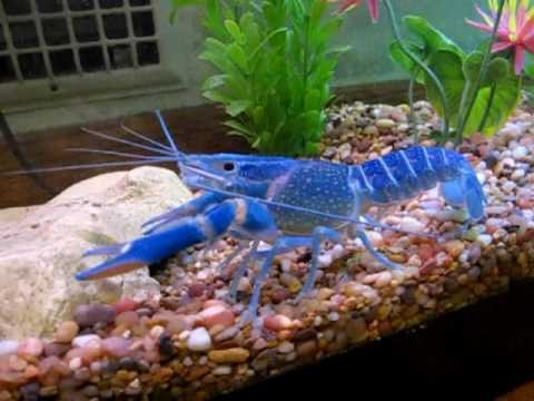 blue-crayfish444